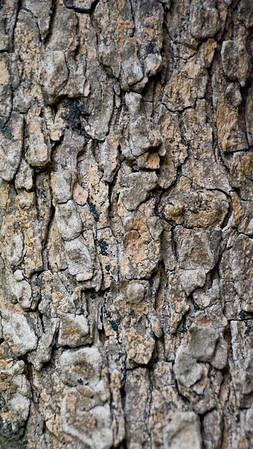Turpentine Tree (Mediterranean)