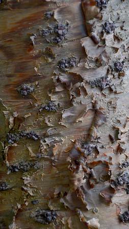 Norfolk Island pine (Norfolk Island)