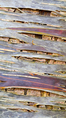 Paper Birch (Rocky Mountains)
