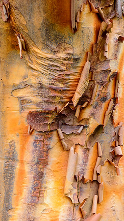 Paperbark Maple (China)