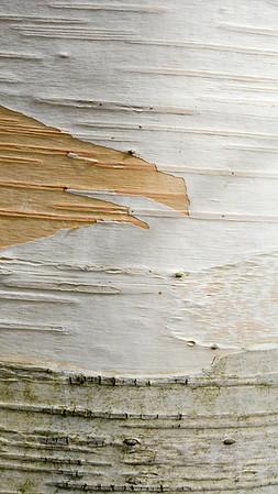 Himalayan Birch (India)