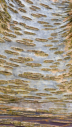 Paper Birch (Rocky Mountains)
