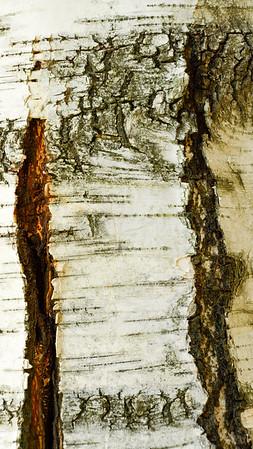 Paper Birch (N. America)