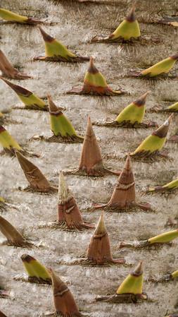 Monkey Puzzle Tree (S. Chile & Argentina)