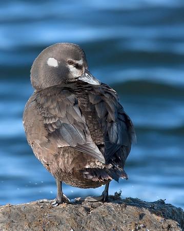 Harlequin Duck,hen