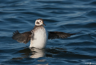 Long-tailed Duck female