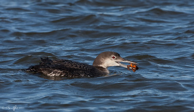 Common Loon w/ Crab