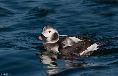 Long-tailed Duck Imm male