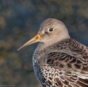 Purple Sandpiper Portrait