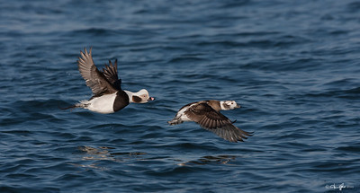 Pair of Long-tailed Ducks