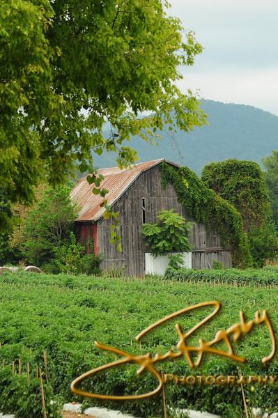 Tomato Farm in Chuckey, Tennessee