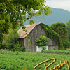 Tomato Farm in Chuckey, Tennessee