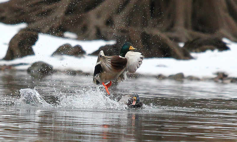 New meaning to JAWS.  The back mallard really did look like he came up from underneath the front one.