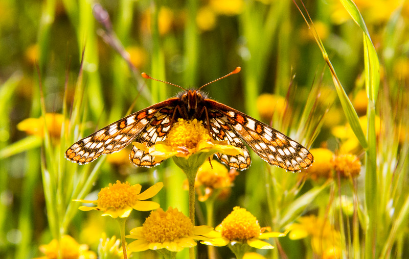 Post-process, crop in: Bay Checkerspot on Goldfield, Best in Class Nature