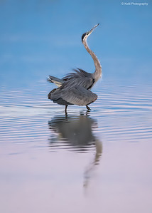 Great Blue Heron Dance