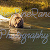 A big Grizz, taking a dip in a pond in YNP after eating his fill of an Elk Calf.<br /> May 28, 2017