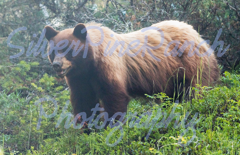 Color Phase Cinnamon Black Bear, Shoshone National Forest, N Central Wyoming. <br /> July 6, 2018