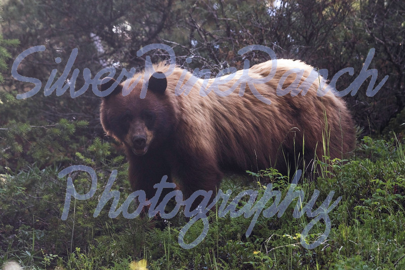 Color Phase Cinnamon Black Bear, Shoshone National Forest, N Central Wyoming<br /> July 6, 2018