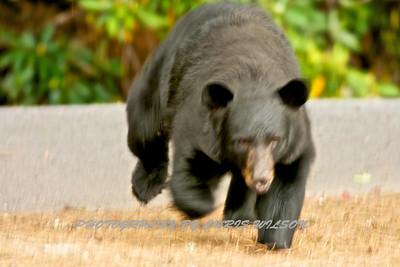 Bears WNC