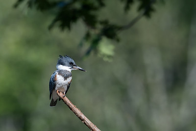 #777 Belted Kingfisher