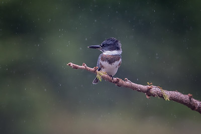 #790 Belted Kingfisher