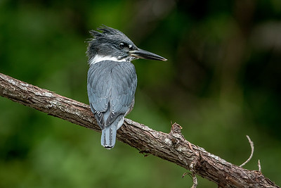 #788 Belted Kingfisher