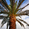 Palm Tree in Bermuda I