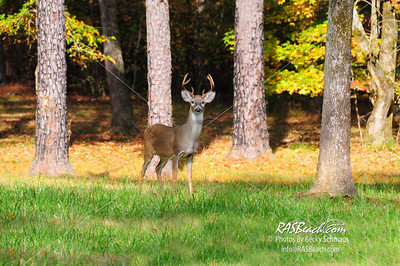 Deer, Berry College, Mount Berry, GA_104