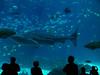 Whale Shark at the Georgia Aquarium