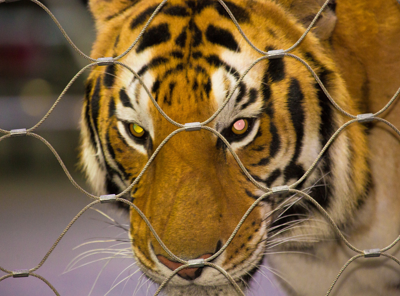 Three year old Bengal tiger named Napoleon.<br /> Wringling Brothers Barnum & Bailey Circus