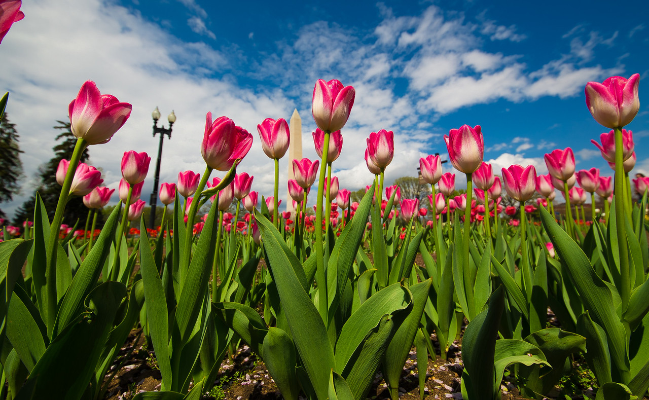 Washington Monument and tulips from the Floral Library near the Tidal Basin in Washington D.C.  April 17, 2015.