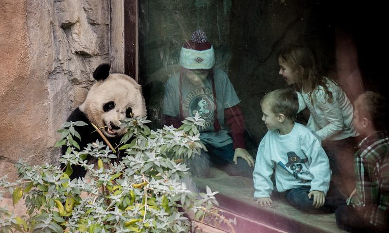 National Zoo, Washington D.C. Nov 28, 2015. The David M. Rubenstein Family Giant Panda Habitat is home to four giant pandas: Tian Tian (adult male), Mei Xiang (adult female), Bao Bao (juvenile female), and a male cub named Bei Bei.