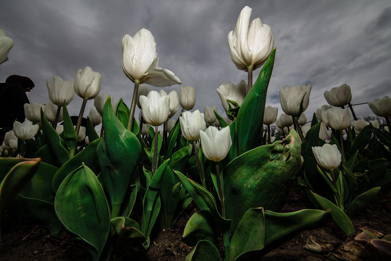 Tulips are in bloom on April 6, 2019. The Floral Library is a flower garden patch planted by the National Park Service next to the Tidal Basin. (photo by Jeff Malet)