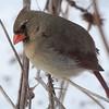 Dramatic Lady Cardinal
