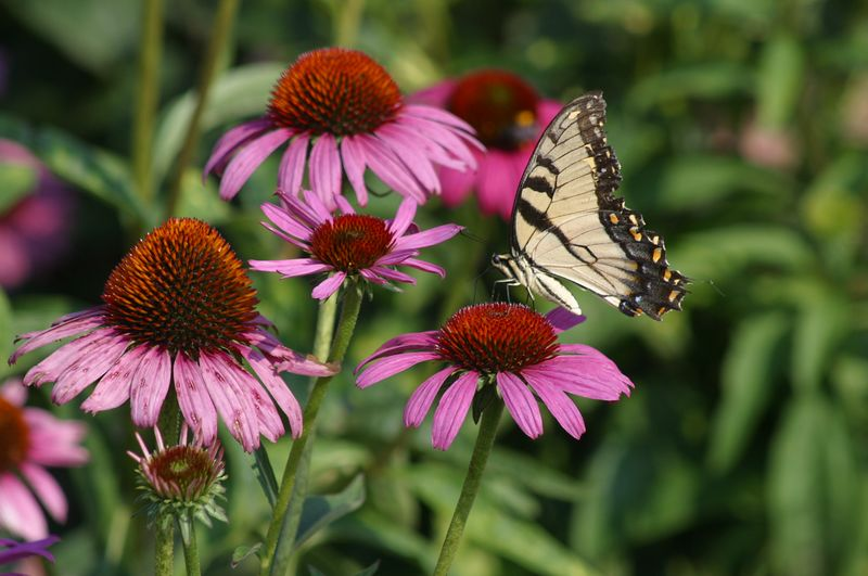 In my mind, this shot of the butterfly on the purple conflower, from the vegetable garden at Callaway Gardens, almost seems like a painting and not a photograph.