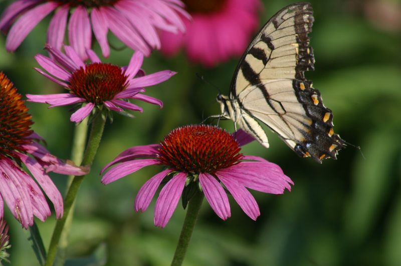 I am so pleased with this picture of the butterfly on the purple coneflower.  The colors are so brilliant.  This is another shot from the vegetable garden at Callaway Gardens.