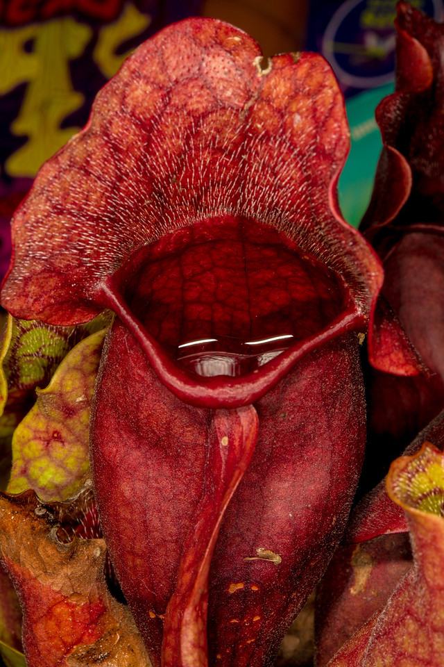 This pitcher plant lures insects into its mouth. The Real and Imaginary World of Carnivorous Plants tells the story of carnivorous plants and their astounding adaptations to inhospitable habitats, at the US Botanic Gardens through October 8, 2012.