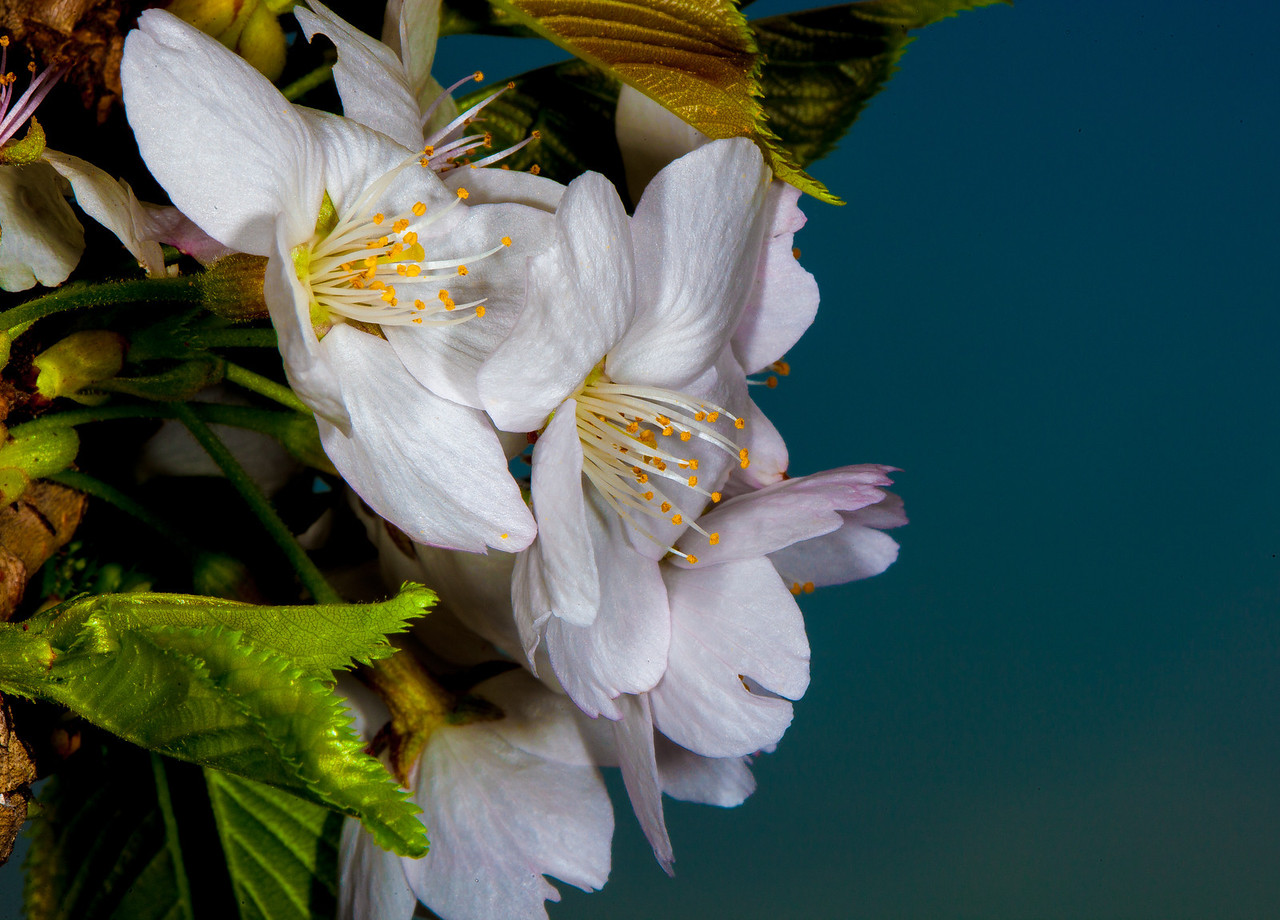 Cherry Blossoms at the Washington Tidal Basin. (Cherry Blossom Festival 2012)