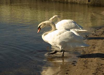 Synchronized Swans