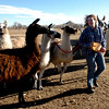 L'illette Vasquez  walks llamas back to the corrals at Bobra Goldsmith's ranch on Thursday. Vasquez was the first to see the fire and alert Goldsmith to leave her home.<br /> Llama Rancher, Bobra Goldsmith, lost her home to one of the wind generated fire, but no people or llamas were injured at the ranch at 7202 45th Street.<br /> Cliff Grassmick/ January 8, 2009
