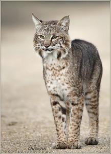Bobcat in Irvine, OC