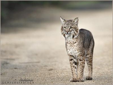 Bobcat in Irvine