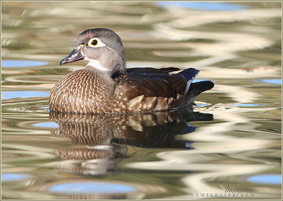Wood Duck, female. Irvine