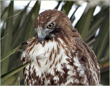 Red Tail hawk, Huntington Beach
