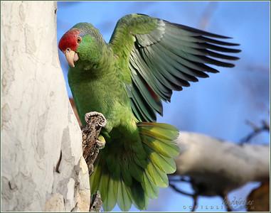 Wild Parrots in Irvine