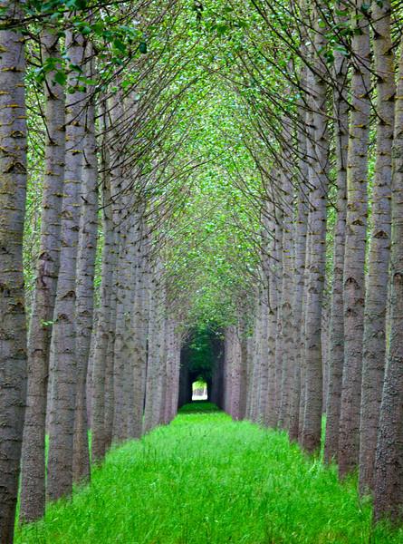 Tree Rows, Junction City, Oregon
