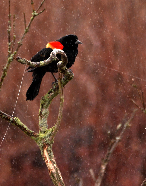 Red winged blackbird at Goose Pond Wildlife Reserve workshop - March 2016. Those are raindrops.