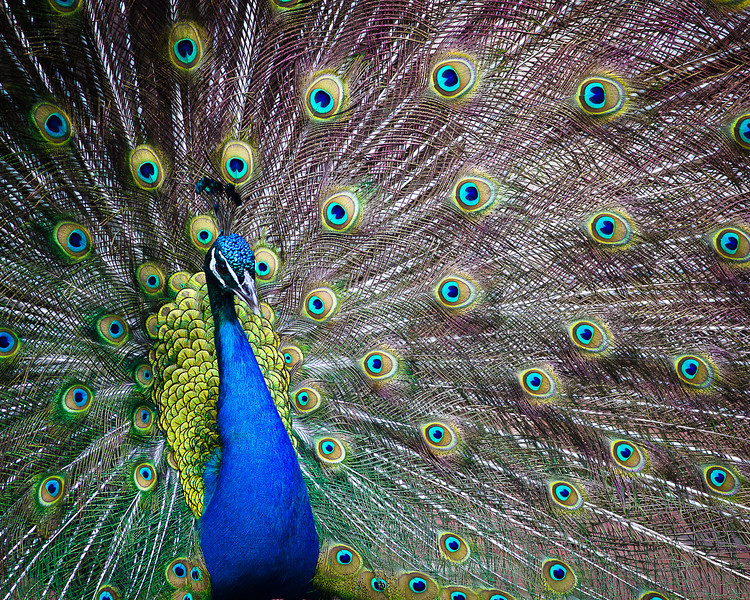 Make me proud.  Peacock in full display.