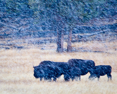Bison in early snowstorm, Yellowstone