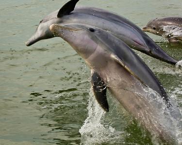 Playful Bottlenose Dolphin trio